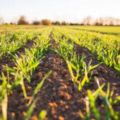 Nawożenie zbóż – jak powinno przebiegać?